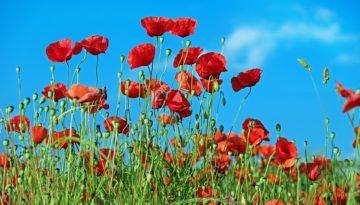 poppy-1447203_960_720